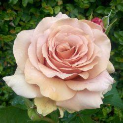 Sunetul trandafirului Meditatie Mona Ardeleanu
