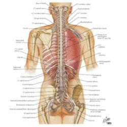 Ce spune stiinta despre functiile nervului vag si autovindecarea a organismului?