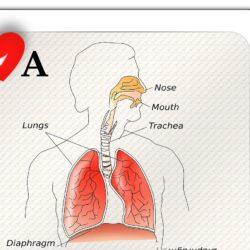 mecanismul respiratiei in organsimul uman Stefan Pusca